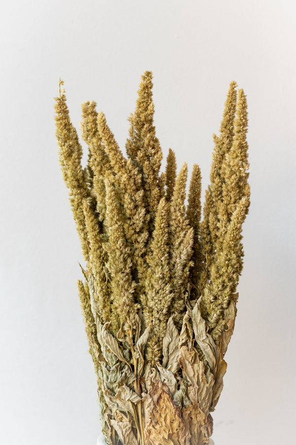 Preserved natural upright Amaranthus against a white wall