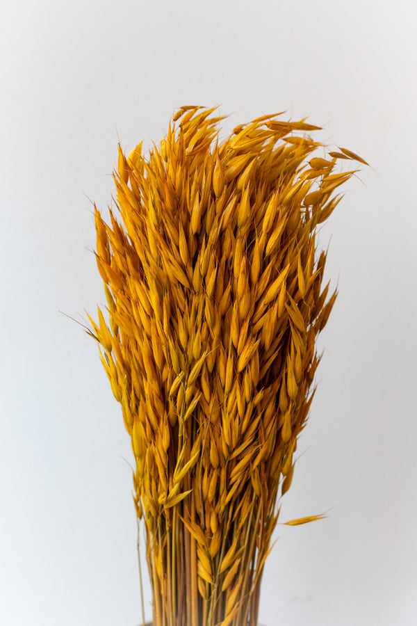 Preserved yellow Avena Sativa against a white wall