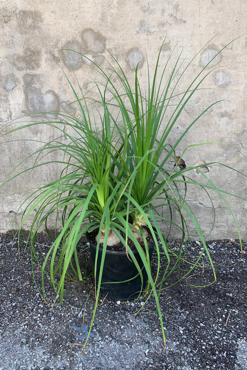 "Beaucarnea ""Ponytail Palm"" in a 10"" pot."