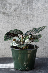 Calathea Ornata in six inch pot in front of grey background