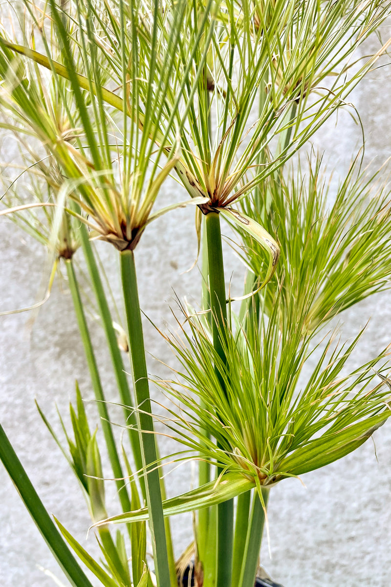 Cyperus papyrus in front of grey background