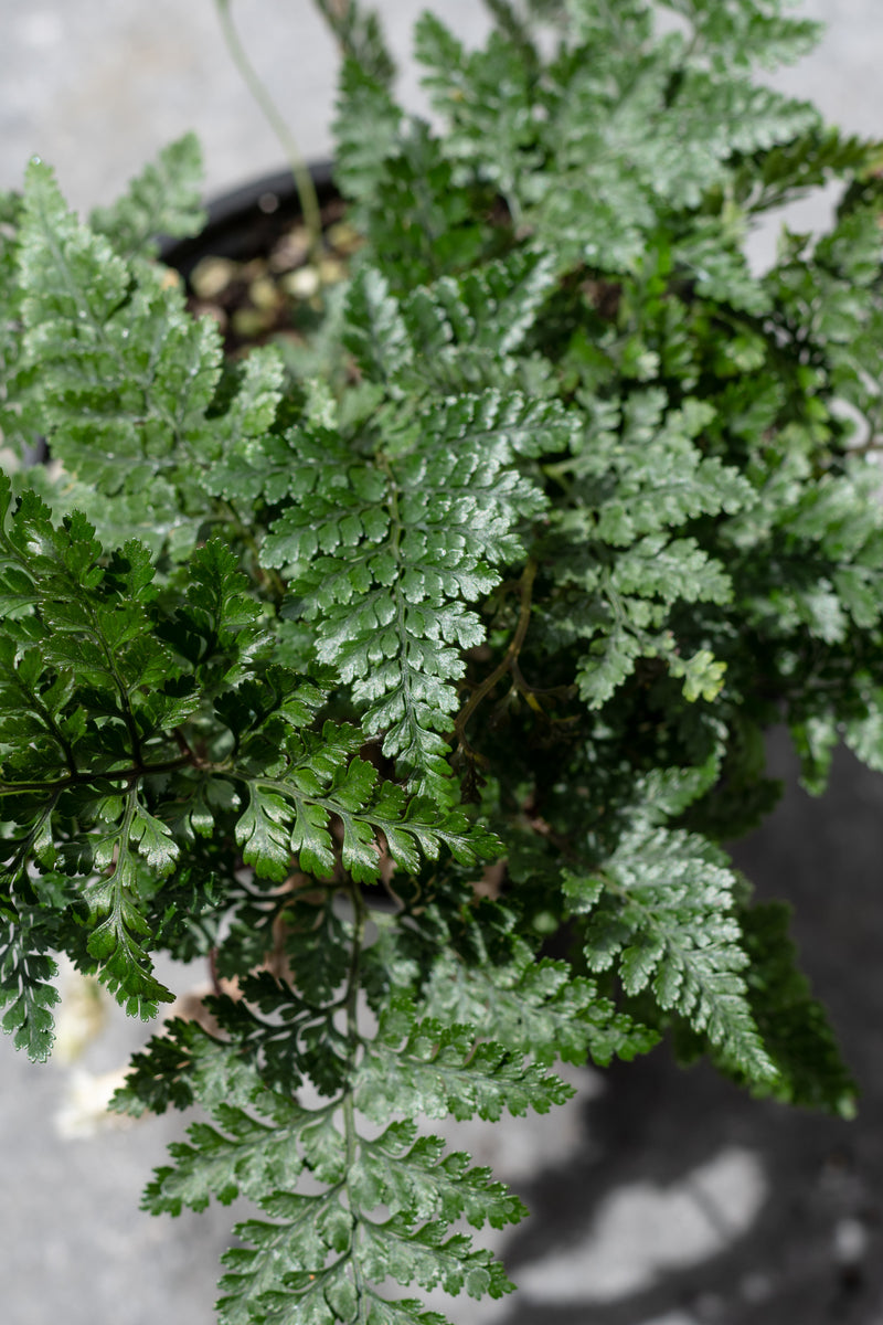 "Davallia fejeensis ""Rabbit Foot Fern"" 4"""