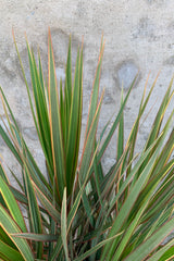 Dracaena marginata 'Bi-Color' plant detail with its sword like leaves.
