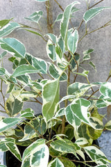 Close up of Ficus benjamina, variegated foliage