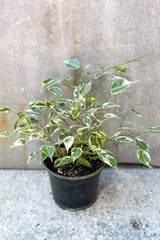 "Ficus benjamina, variegated 6"" in front of grey background"