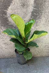 Fiddle Leaf Fig in a 6 inch pot.