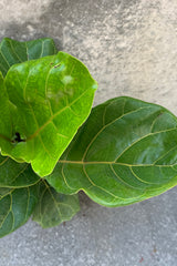 "Detail picture of the Ficus lyrata ""Fiddle Leaf Fig"" against a grey background."
