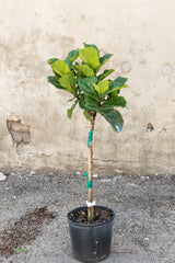 "Large ficus lyrata ""little fiddle"" in front of concrete wall"