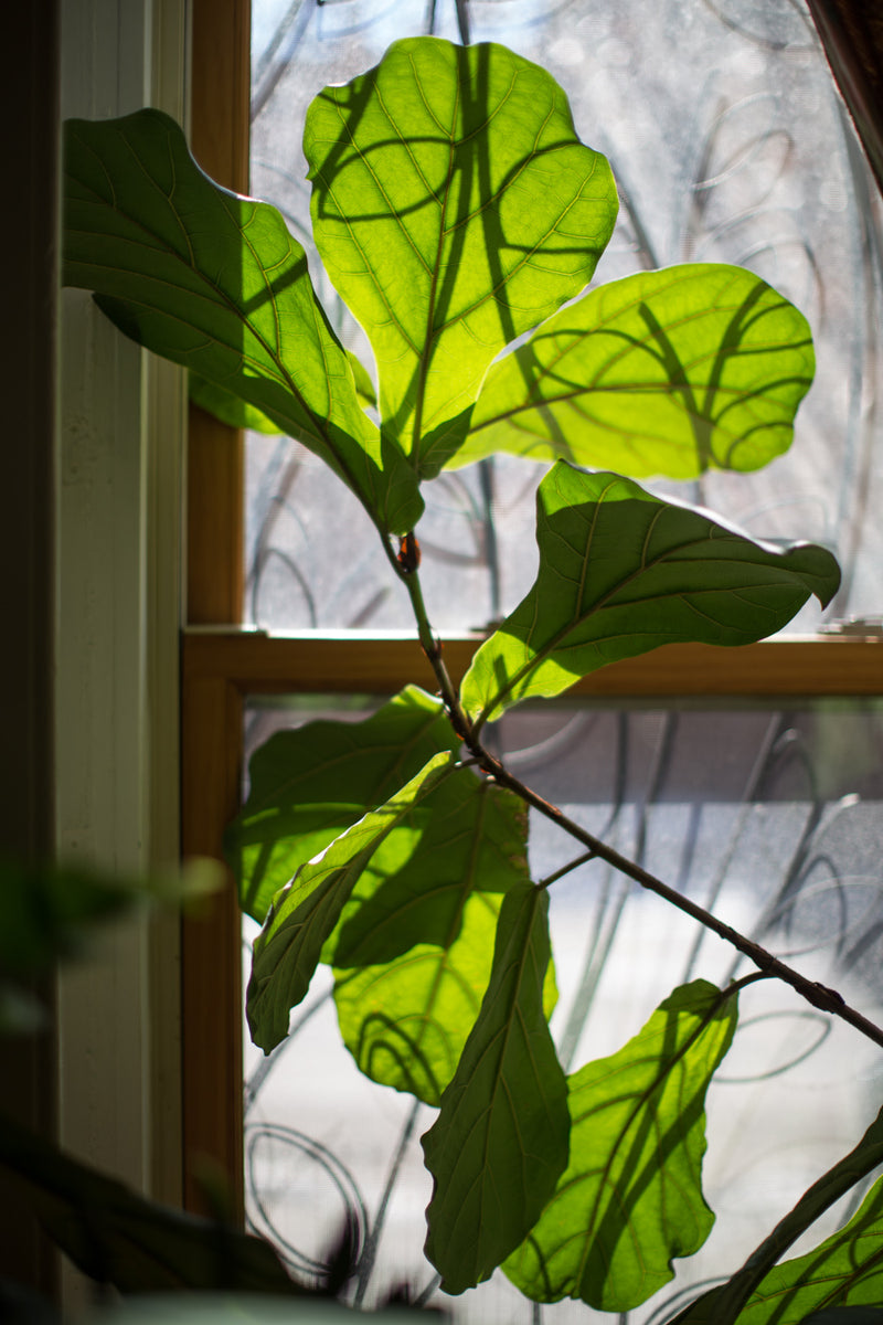 Fiddle Leaf Ficus branch in front of a window.