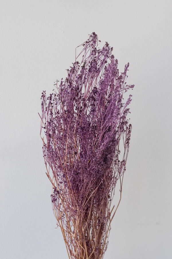 Preserved purple Gypsophilia Paniculata against a white background