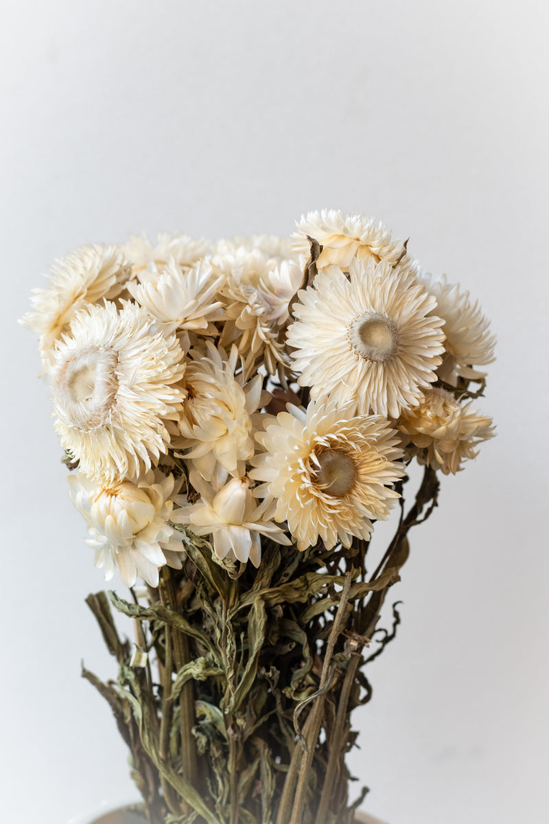 Preserved natural Helichrysum white flowers against a white wall