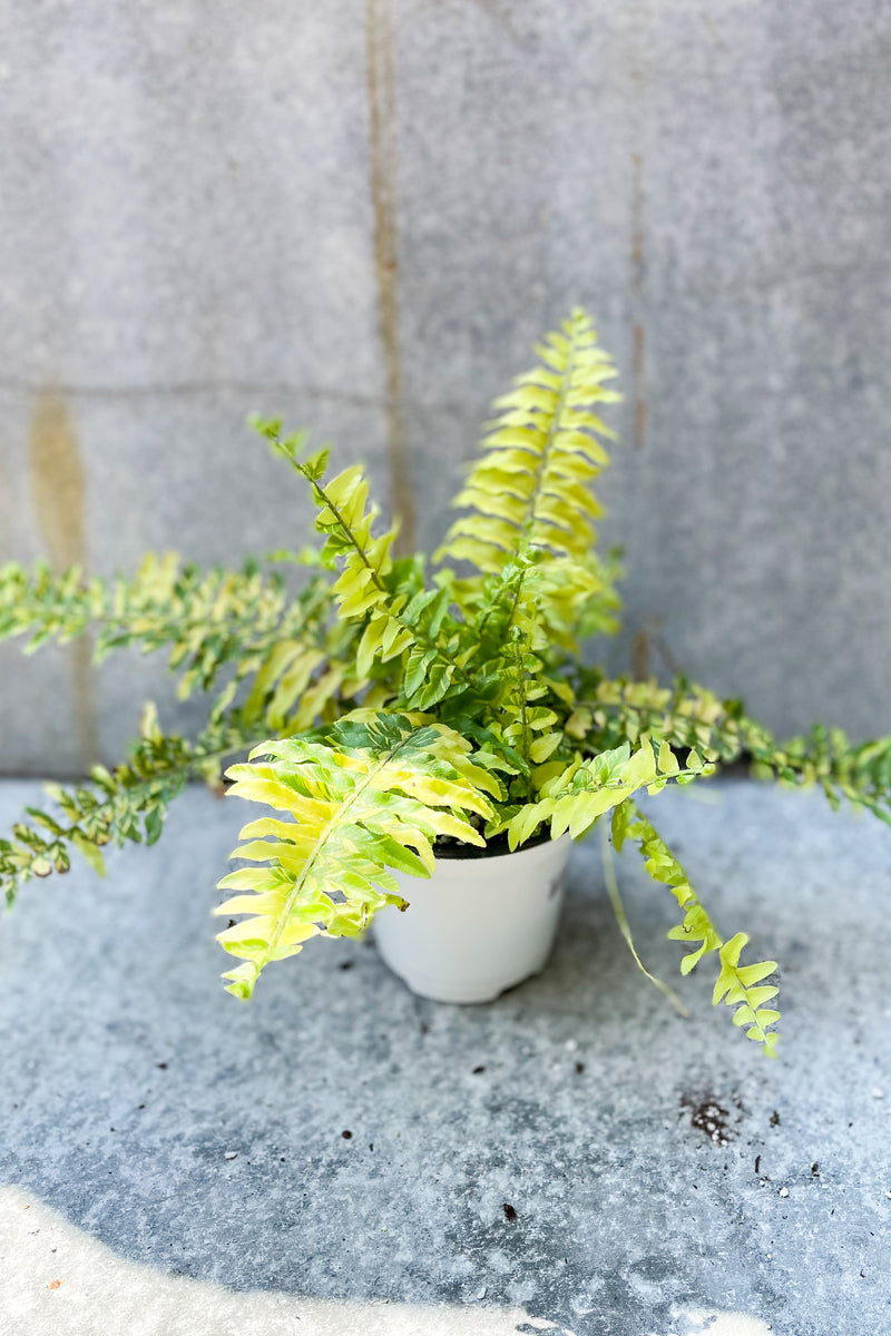 "Nephrolepis exaltata 'Tiger' 4"" in front of grey background"