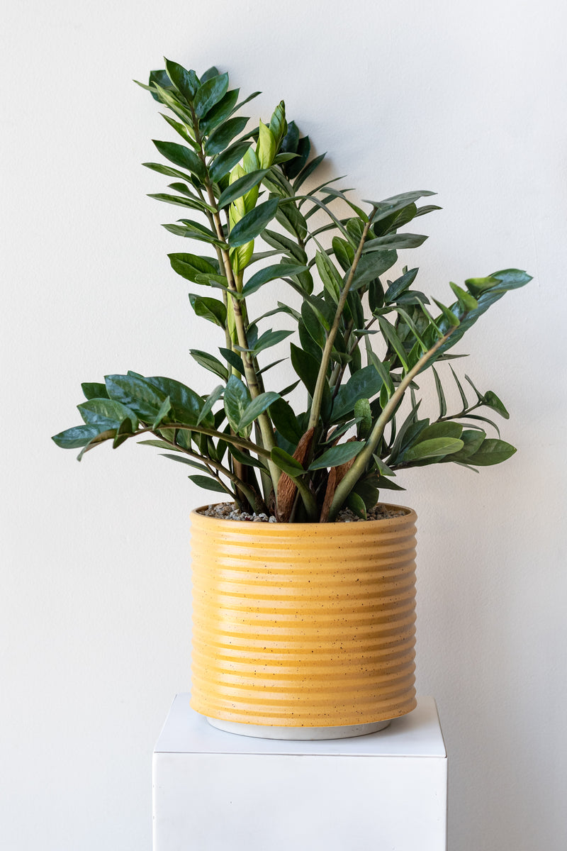 A large yellow planter with black speckles sits on a white surface in a white room. The planter is cylindrical and ribbed. It sits on an unglazed ceramic drainage tray. There is a houseplant and potting mix inside the planter. It is photographed straight on.