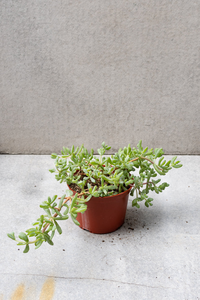 An Oscularia deltoides plant against a grey wall and shelf.