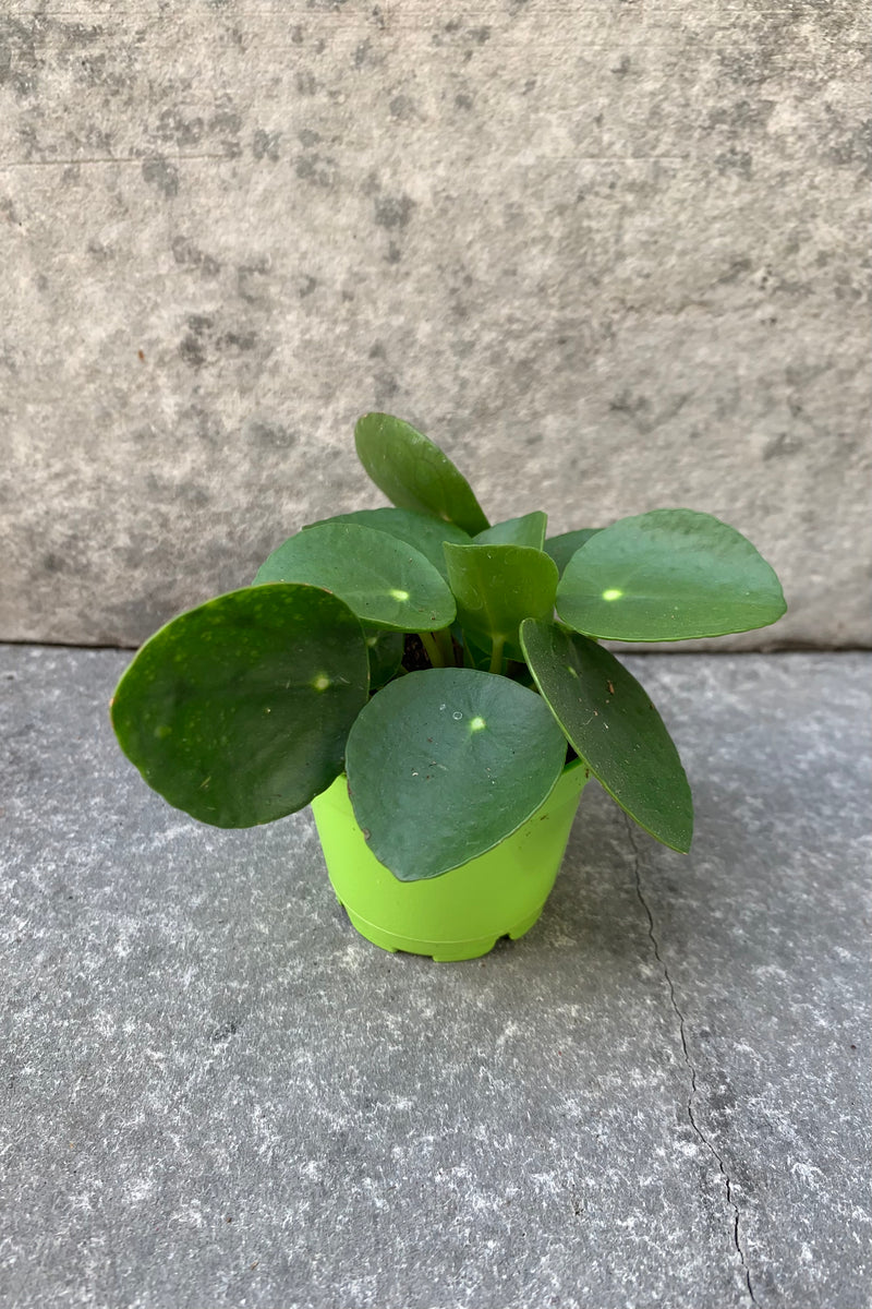 small coin shaped leaf plant in 2.5 inch pot