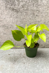 Neon pothos in four inch pot in front of grey background