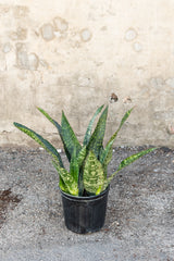 Sansevieria Jaboa in front of concrete wall in 10 inch grow pot