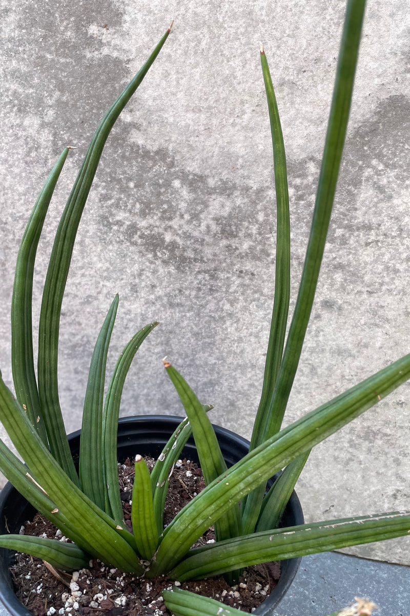 Sansevieria patens detail picture with its sword like leaves sticking out of an 8 inch pot.
