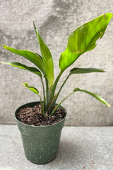 "Strelitzia nicolai ""Bird of Paradise"" in 6 inch pot against grey background"