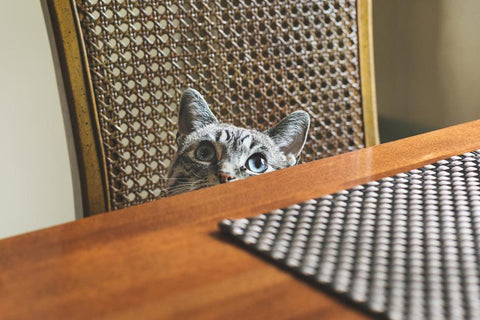 Cat Staring on Chair