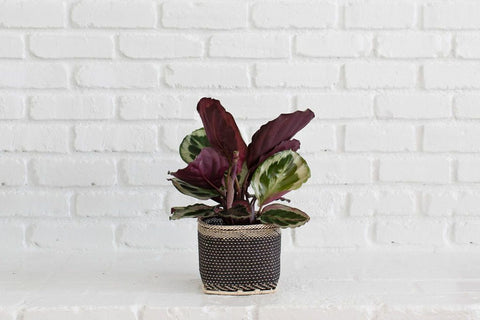 Purple and Green Prayer Plants in a Woven Planter Basket