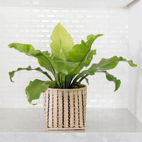 best fern plants to buy online direct shipping