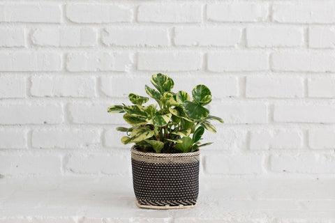 buy marble peperomia low light house plant online order