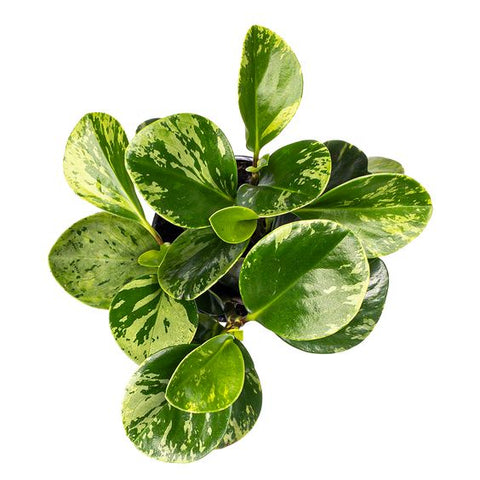 marble peperomia plant buy online direct shipping