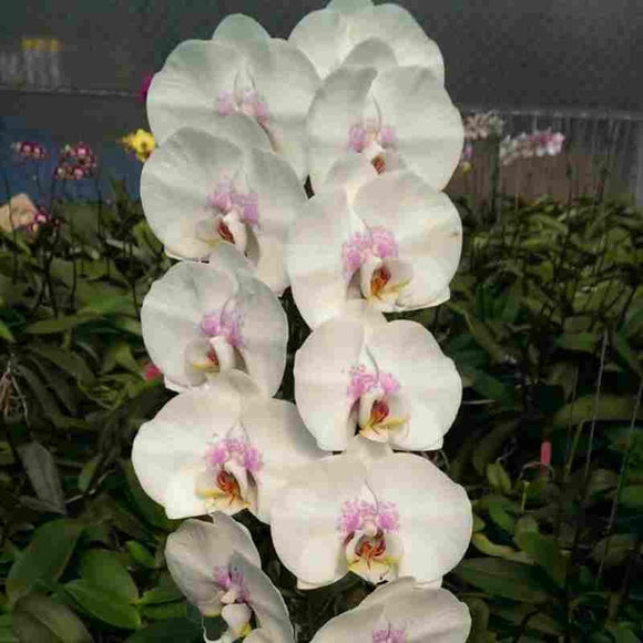Dtps. Princess Diana