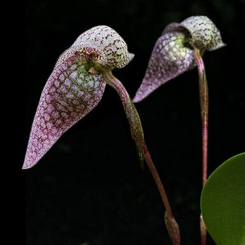 Bulbophyllum arfakianum Red Sp.