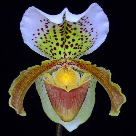 Paph. insigne var. 'Harefiled Hall'-Multi Growth