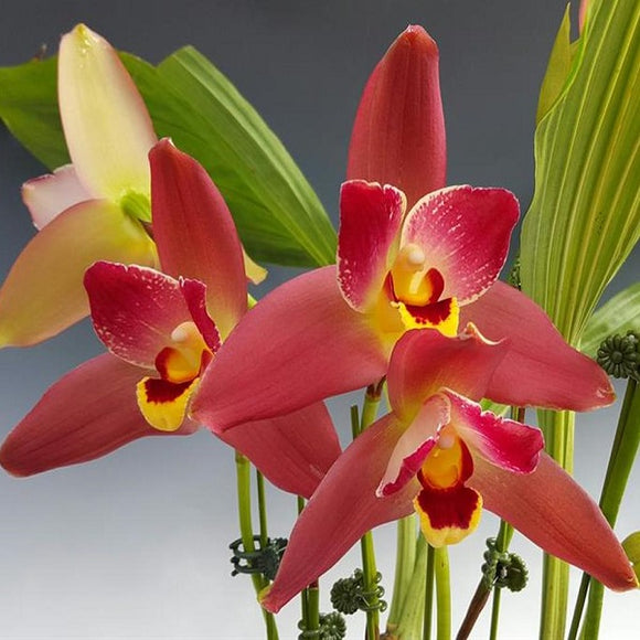 Lycaste  Red Jewel