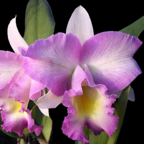 Rlc. Princess Pink