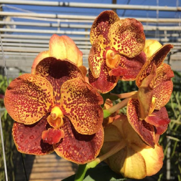 Vanda Thansattha Gold