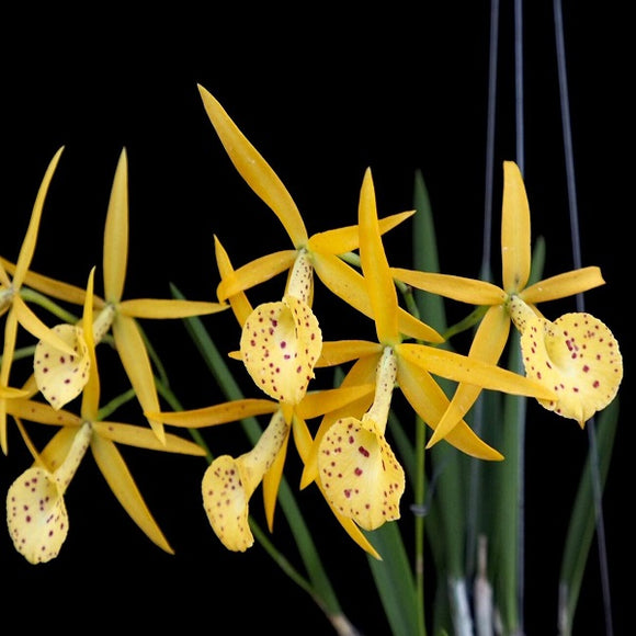 Brassavola Yellow Bird