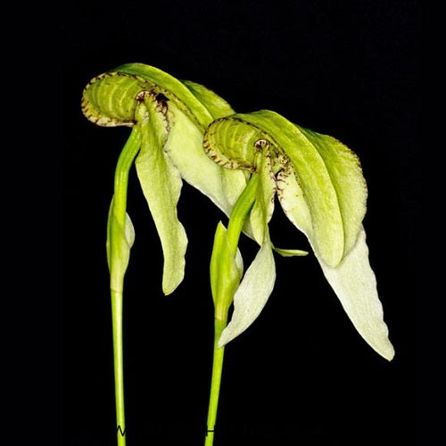 Bulbophyllum arfakianum Green sp.