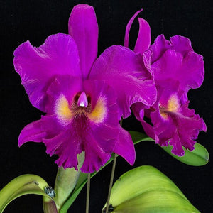 Blc. King of Taiwan 'Hon-Min'- AM / AOS