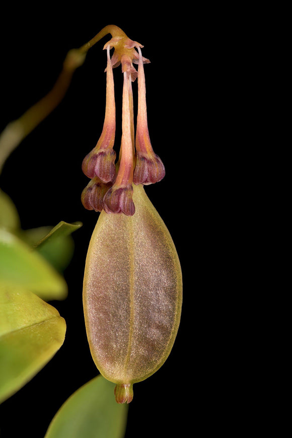 Bulbophyllum physometrum sp.