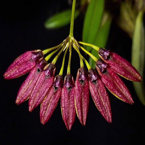 Bulbophyllum retusiusculum  fma. 'Red' sp.