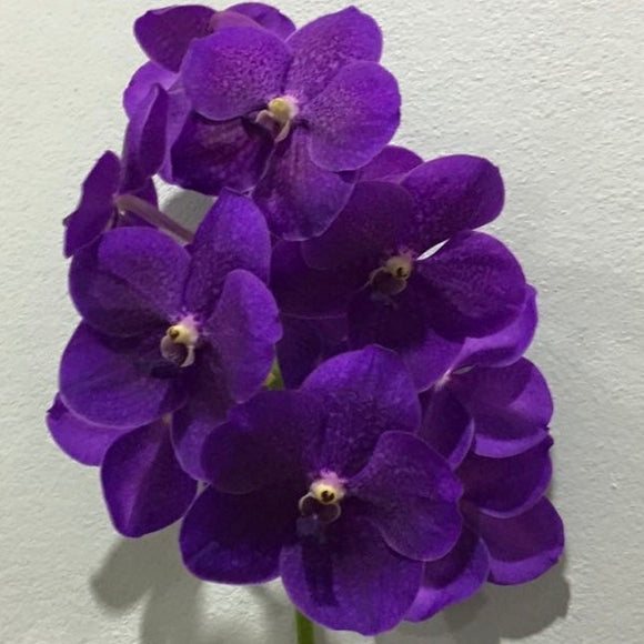 Vanda  Robert's Delight Blue