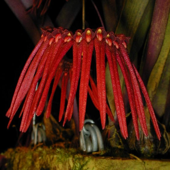 Bulbophyllum thaiorum sp.