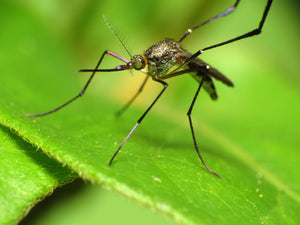 Four Ways to Naturally Avoid Mosquitoes