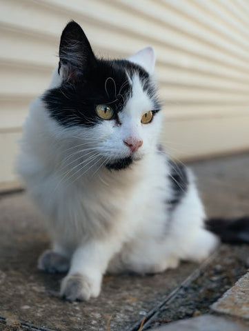 furry cat with black and white coat