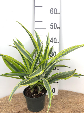 Dracaena - Lemon Lime - 6""