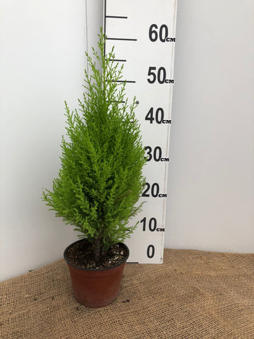 Lemon Cypress - 6""