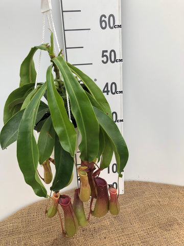 "Pitcher Plant - Asian - 6"" HB"