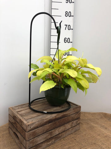 "Philodendron - Lemon Lime - 8"" HB"