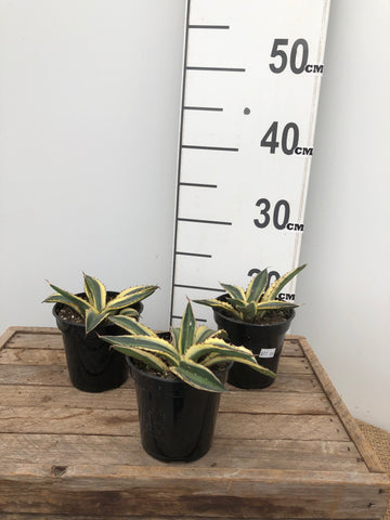 Agave - Variagated - Spikey - 3.5""