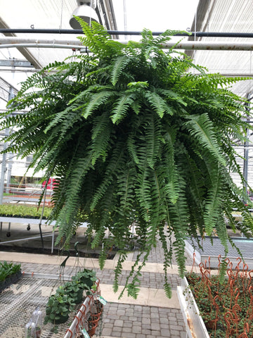 "Fern - Boston - 10"" HB"