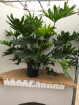 Philodendron - Selloum - 8""